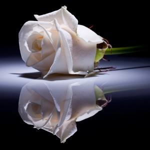 58. Gönülçelen -Inima furata - Heart Stealer - General Discussions - Comentarii - Pagina 4 Trandafir-alb-300x300